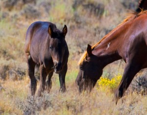 Wild Mustang Mare and Foal - Nevada