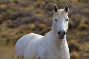Wild Mustang Mare
