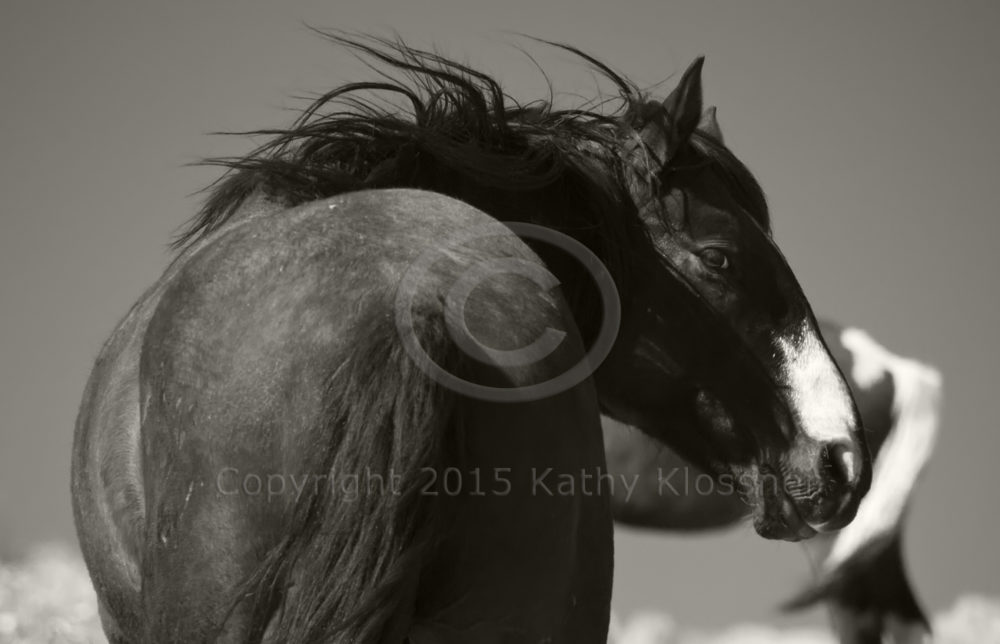 Black and white photo of black Mustang stallion