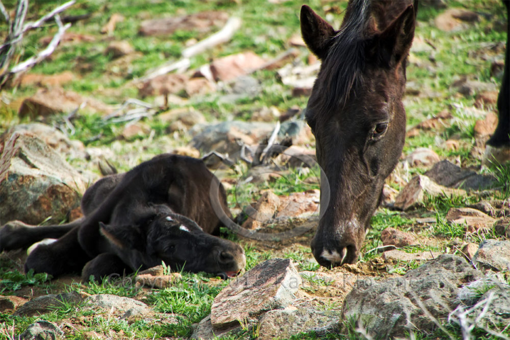 Mustang mare with black foal