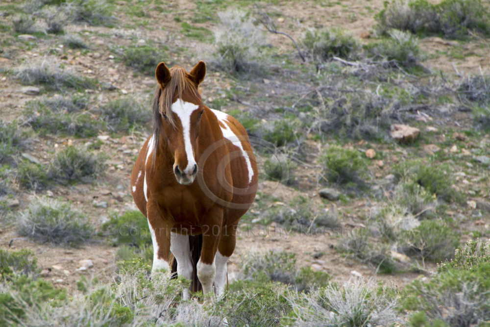 Wild Paint Mustang Mare