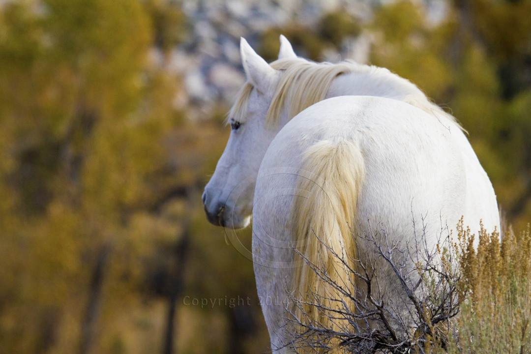majestic white mustang