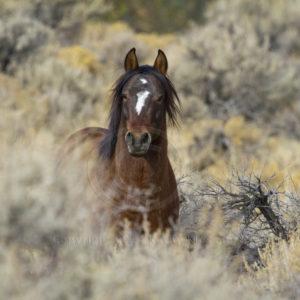 Wild Mustang Stallion known as Santana