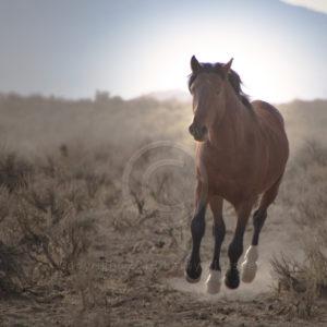 Brown Mustang stallion running