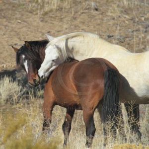 Wild Mustang stallion and his white mare