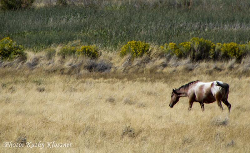 Wild Appaloosa Mustang